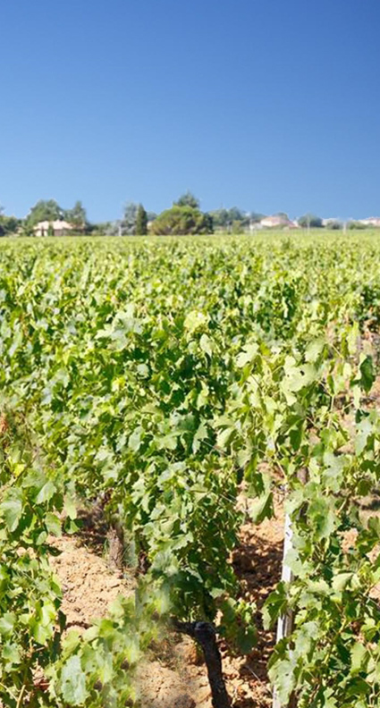 vignes tourisme saint emilion
